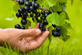 Hand picking berries of black currant Royalty Free Stock Photo