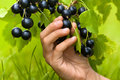 Hand picking berries of black currant, closeup Royalty Free Stock Photo