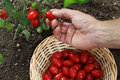 Hand picking cherry tomatoes from the plant with basket in veget Royalty Free Stock Photo