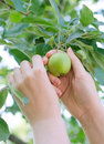 Hand picking a green apple closeup on from the tree Royalty Free Stock Images