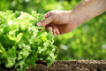 Hand picking lettuce, plant in vegetable garden, close up Royalty Free Stock Photo