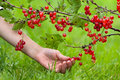 Hand picking red berries of currant Royalty Free Stock Photo