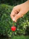 Hand picking red cherry Royalty Free Stock Photo