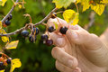 Hand picking ripe berries of black currant in the garden Royalty Free Stock Photo