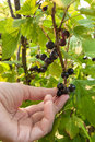 Hand picking ripe berries of black currant Royalty Free Stock Photo