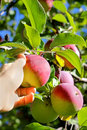 Hand picking ripe fruit from apple tree a woman s is reaching up into an and a fresh cortland at an orchard Royalty Free Stock Photos