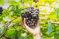 Hand picking ripe grapes BLACKOPOR on a vine in agricultural garden Royalty Free Stock Photo