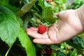 Hand picks raspberries on a branch Royalty Free Stock Photo
