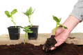 Hand planting seedling Stock Images