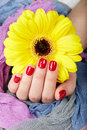 Hand with red manicured nails holding yellow Gerbera flower