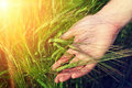 Hand and ripe wheat ears in sunlight on the field warm Royalty Free Stock Photography