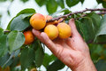 Hand showing peach on tree old mans fresh branch Royalty Free Stock Image