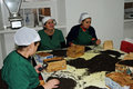 Hand sorting female workers in a tea factory on sao miguel azores islands Stock Image