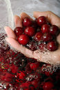 Hand with sour cherries Royalty Free Stock Photography