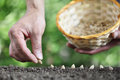 Hand sowing seeds in vegetable garden soil, close up with ba Royalty Free Stock Photo