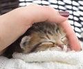 Hand stroking a kitten woman s Stock Photo