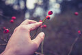 Hand touching rosehip bush is Royalty Free Stock Photography