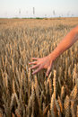 Hand touching wheat male plands at field Royalty Free Stock Images