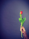 Hand with tulip flower. Royalty Free Stock Photo