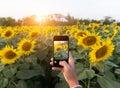 Hand using phone taking photo beauty sunflower field