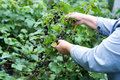 Hand of woman picking black currant in the garden Royalty Free Stock Photo