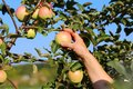 Hand of a woman picking a ripe Apple from an Apple tree Royalty Free Stock Photo