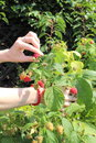 Hand of woman reaps the fruits in sunny garden and natural raspberries bush Stock Image
