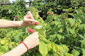 Hand of woman reaps the fruits in sunny garden and natural raspberries bush Stock Photos