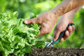 Hand works the soil with tool, green lettuce plant in vegetable Royalty Free Stock Photo