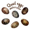 Handdrawn illustration of quail eggs in style watercolor isolate on white