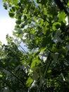 Handerchief tree Royalty Free Stock Photo