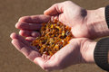 Handful of amber gathered on a beach Royalty Free Stock Photography