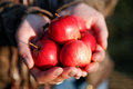 Handful of apples Royalty Free Stock Photo