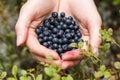 Handful of bilberries female freshly picked wild Stock Photo