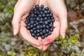 Handful of bilberries female freshly picked wild Royalty Free Stock Photos