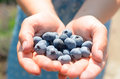 A handful of blue blueberries in female hands. Royalty Free Stock Photo