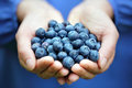 Handful of blueberries woman with freshly picked organic Royalty Free Stock Photos