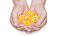 Handful of corn full a grains in male hands on a light background isolation Stock Photography
