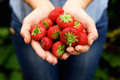 Handful of delicious red strawberries Royalty Free Stock Photo