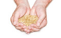 Handful of grain full a grains rye in male hands on a light background Royalty Free Stock Images