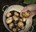 A handful of new potatoes in colander Royalty Free Stock Images