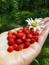 Handful of perfect and ripe wild strawberries Fragaria vesca Royalty Free Stock Photo