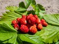 Handful of red, ripe wild strawberries Fragaria vesca on green foliage of strawberry plant outdoors in bright sunlight Royalty Free Stock Photo