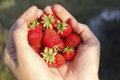 Handful of strawberries in female hands Royalty Free Stock Images