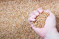 Handful of wheat hand a farmer with a seeds on a background the harvest Stock Images