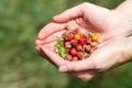 Handful of wildberries female wild berries strawberries briar stone berries Royalty Free Stock Images