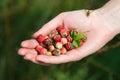 Handful of wildberries female wild berries strawberries briar stone berries selective focus on berries Stock Image