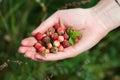 Handful of wildberries female wild berries strawberries briar stone berries selective focus on berries Royalty Free Stock Photo