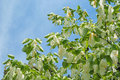 Handkerchief tree davidia involucrata or with flowers Royalty Free Stock Photo