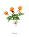 Handpainted watercolor poster with cloudberry
